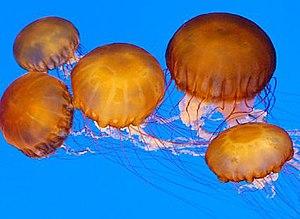 Sea nettles.jpg