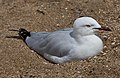 Seagull resting on Margate Beach-1 (6223722821).jpg