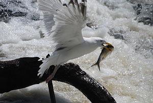 Watertown Dam - Herring gull with herring caught below the Watertown Dam