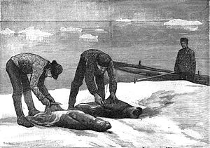 Seal hunting - Seal skinning in the late 1800s