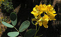 Senna cumingii coquimbensis (8420798331).jpg