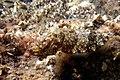 Sepia elegans.jpg
