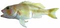 Serranus notospilus - pone.0010676.g061.png