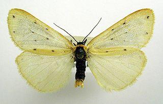 <i>Setina irrorella</i> Species of moth