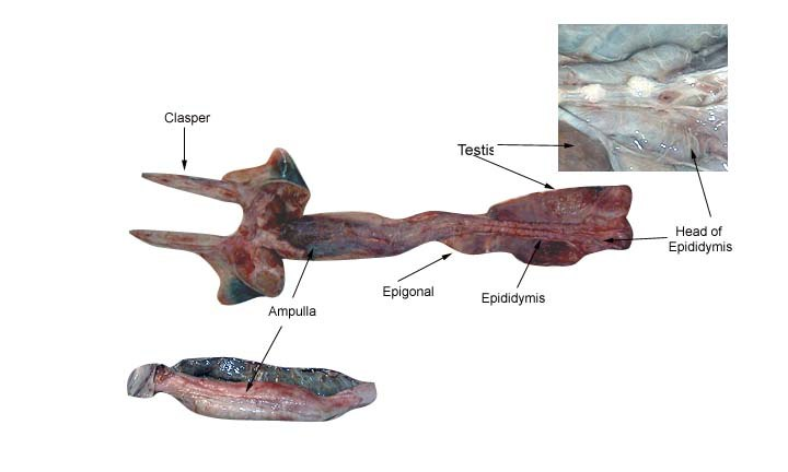 Shark male reproductive system