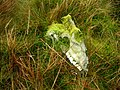 Sheep Skull - geograph.org.uk - 302800.jpg
