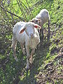 Sheep at Erlenbruck 5317.jpg