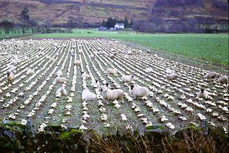 Scottish Agricultural Revolution - Sheep feeding on turnips, Auchindrain, Argyll