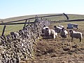 Sheep on Langerton Hill - geograph.org.uk - 130175.jpg