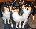 Shetland Sheepdog Puppies Picture