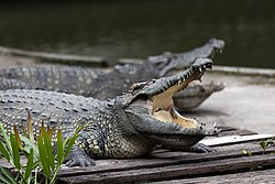 Siamese Crocodiles at Samphran Elephant Ground & Zoo (I).jpg