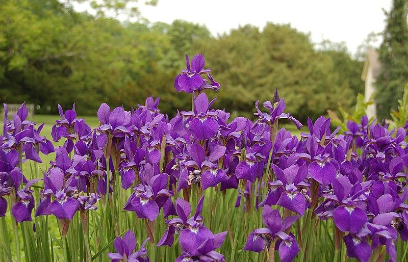 File:Siberian Iris Iris sibirica Flowers 3008px.jpg