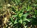 Sibiraea laevigata 2019-04-16 0595.jpg