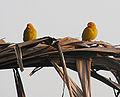 Sicalis flaveola, a pair of Saffron Finch (8992936086).jpg