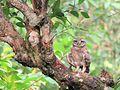 Silent Owl.jpg