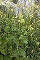 Sinapis arvensis marais-la-chaussee-tirancourt 80 30052007 2.jpg