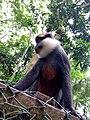 Singe à ventre rouge au sanctuaire des singes de Drabo à Calavi.jpg