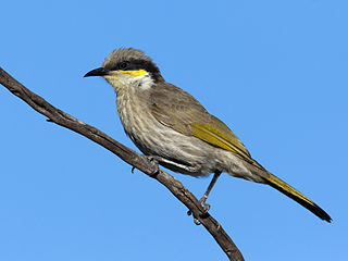 Singing honeyeater species of bird