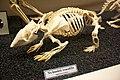 Skeleton of a Euphractus sexcinctus.jpg