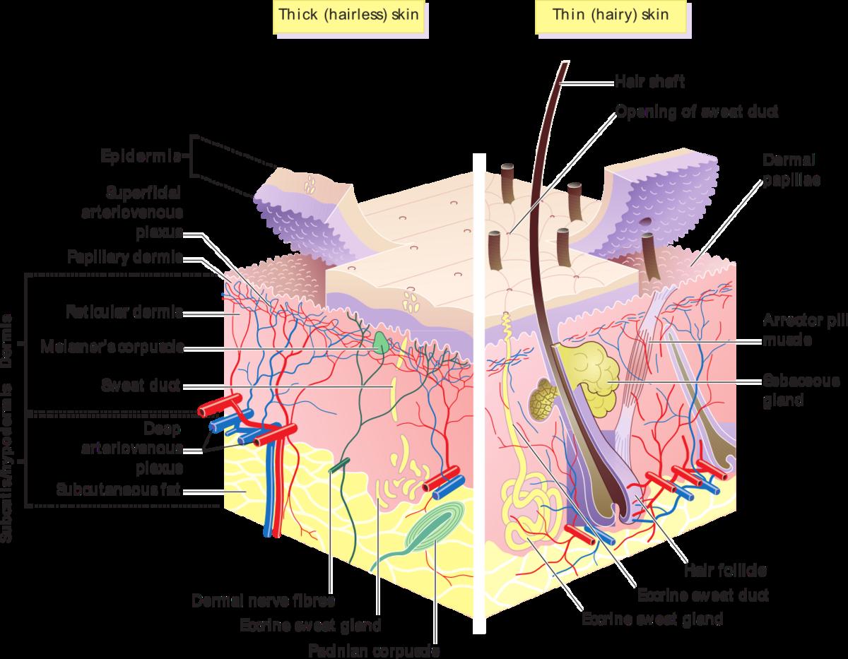 Hautdrüse – Wikipedia