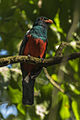 Slaty-tailed Motmot - Rio Tigre - Costa Rica MG 8052 (26404333450).jpg