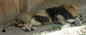 Rio Grande Zoo - Image: Sleeping male African Lion