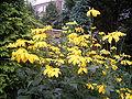 Slipbladige rudbeckia 20-08-2005 18.25.12.JPG