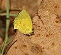 Small Grass Yellow (Eurema brigitta) in Kawal, AP W IMG 1706.jpg