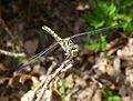 Small Pincertail^ (Green-eyed Hooktail). Onychogomphus forcipatus.Female - Flickr - gailhampshire.jpg