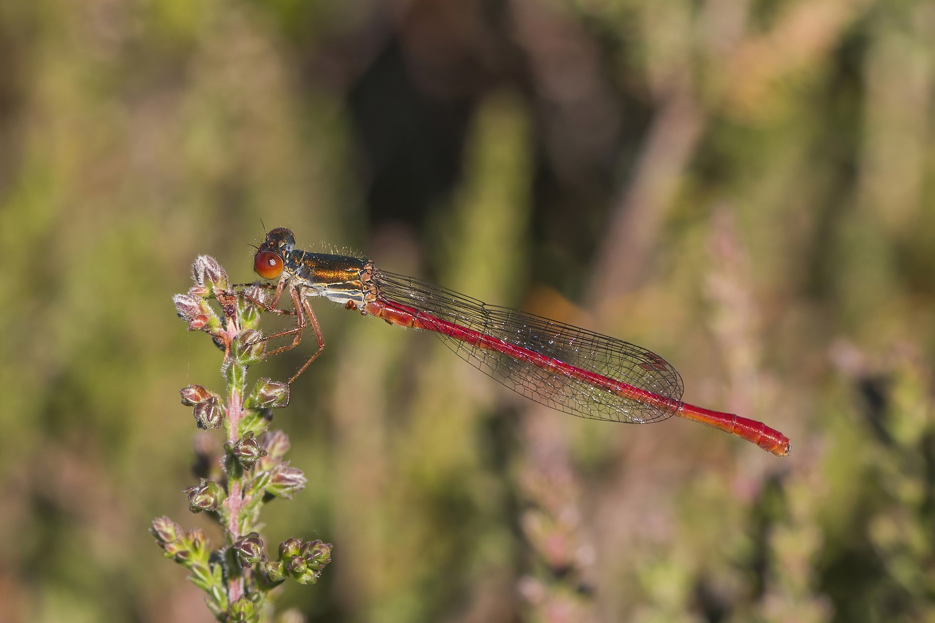 Small red damselfly - Wikipedia