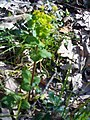 Smyrnium perfoliatum Habitus FuentedelAlmirez 2010-4-02 SierraMadrona.jpg