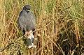 Snail Kite (Rostrhamus sociabilis) male ... - 48114669598.jpg
