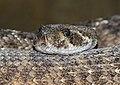 Snake (15100518383).jpg