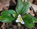 Snow trillium (Trillium nivale) (25754203974).jpg