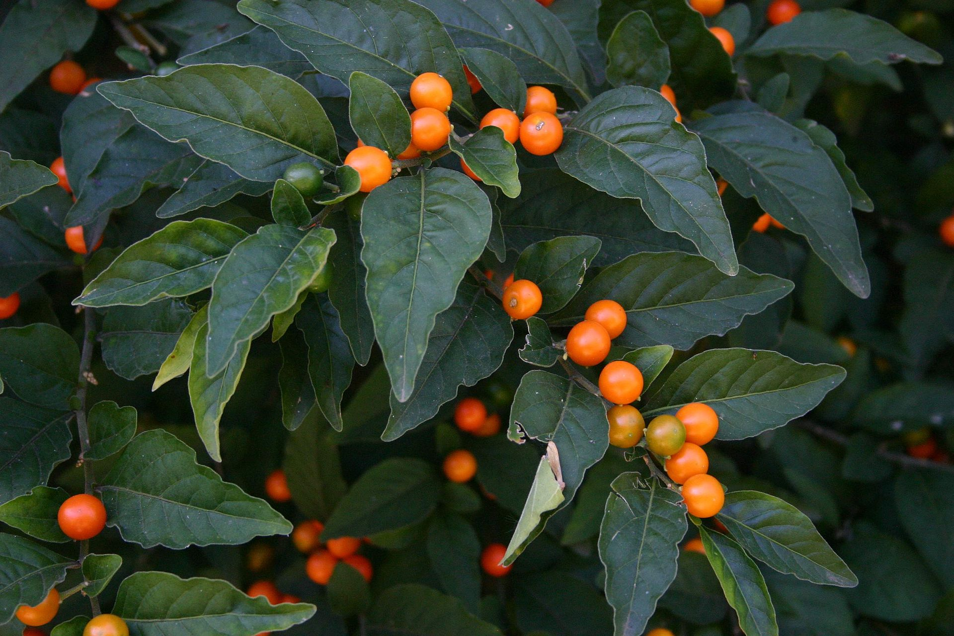 Solanum pseudocapsicum - Wikipedia