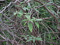 Solanum sp 01.JPG