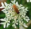 Soldier Beetle on Yarrow.JPG