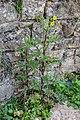 Sonchus asper in Aveyron (8).jpg