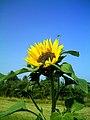 Sonnenblume in Oberreute - panoramio.jpg