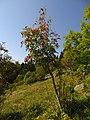 Sorbus aucuparia IMG 6850^.jpg