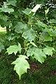 Sorbus torminalis kz01.jpg
