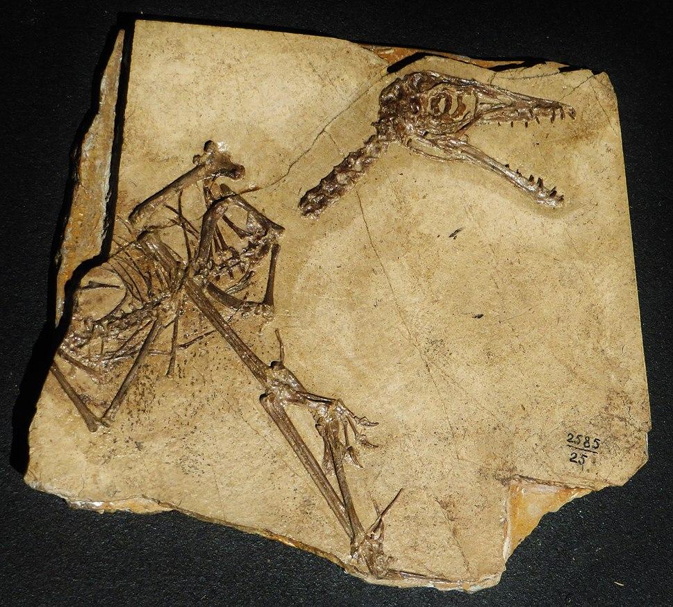Sordes pilosus skeleton