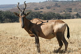South Africa-Krugersdorp Nature Reserve-Red Hartebeest01.jpg