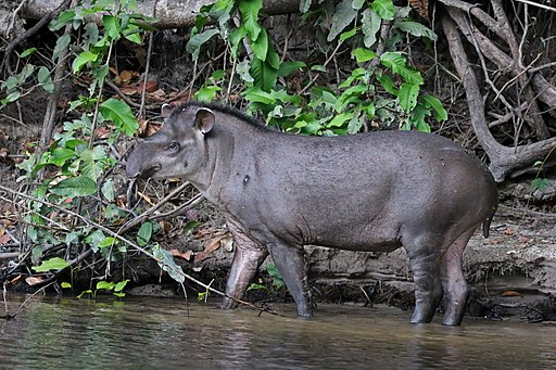 tapir amazonico o tapirus terrestris