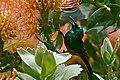 Southern Double-collared Sunbird (Cinnyris chalybeus) male visiting Leucospermum flowers ... (30092252220).jpg