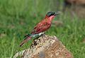 Southern carmine bee-eater, Merops nubicoides, Chobe National Park, Botswana (32309767512).jpg