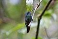 Sparkling Violetear (Colibri coruscans) (4856959770).jpg