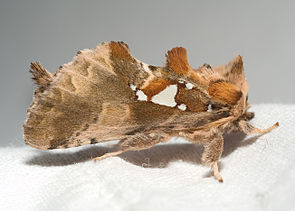 Silberfleck-Zahnspinner (Spatalia argentina)
