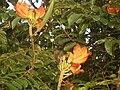 Spathodea campanulata665.jpg