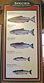 Species of Pacific Coast Salmon King, Chum, Coho, Pink, Sockeye.jpg